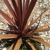 #9 コルジリネとワイヤープランツ 赤い葉