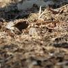 山の斜面で採食するカヤクグリ