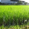 稲の生命力