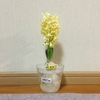4-341   愛すべき花たち〜ヒヤシンス、対象的な姿に…〜