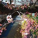 宇治川の桜🌸ポツポツポツポツと咲き始めてきましたヽ(^。^)ノ