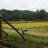 雨の稲刈り