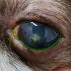 眼が白い①~角膜変性症からの潰瘍~