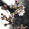 東京でサクラが開花、平年より5日早く…気象庁