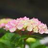 卯辰山で紫陽花の写真(前編)
