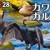 0828【カルガモ親子の怪我と奇形珍色】カラスの幼鳥餌探し。ムクドリが巣材集め?スズメが水浴び【身近な生き物語】今日撮り野鳥動画まとめ
