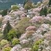 雨予報でも吉野の千本桜