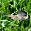 葭原を飛ぶヨシゴイ