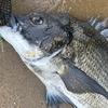 「黒くても(笑)…鯛!」チヌはすごく美味い魚。伊勢湾サーフルアーフィッシング