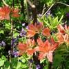 「佐久の季節便り」、「食べられないツツジ(躑躅)」2種、咲き始めました。