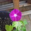 朝顔日記…つばめ朝顔の花