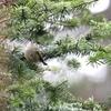 雪のキクイタダキと晴天のカワセミ