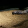 ワラスボ Odontamblyopus lacepedii