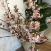 merrygateの桜も見頃です! ~川越氷川神社の近くにある美容室merrygate(メリーゲート)~