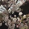 海外から見たお花見情報