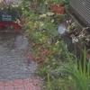 大雨で庭に風流な小川が出現!と雪の下と斑入り野ブドウ