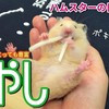 【ハムスター 動画】ハムスター🐹もやしを開脚しながらを食べる!ハムスターにとっては栄養価の高い野菜#58