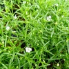 かすみ草の開花と日々草の種まき