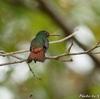 ベリーズ 種類の多いハチドリ( Rufous-tailed Hummingbird (ルフォーステイルド ハミングバード))