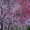 🌸亀戸天神で満開になった梅の花を撮影しました☺