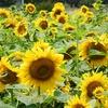 済州島(チェジュ島)のひまわり畑(1) #ハンパドゥリ抗蒙遺跡