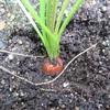 【にんじん栽培】収穫タイミングが全く分からないまま葉っぱが枯れてきた!