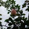 西の庭のレンガとつるバラ支柱