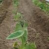 サトイモ除草・中耕と追肥