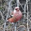 猿のように真っ赤な顔のベニマシコ(紅猿子)【セイタカアワダチソウが大好きな美しい野鳥】