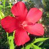 庭の芙蓉の花