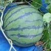 庭の畑のスイカ、ゴロゴロと収穫!出来は・・・・