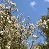 桜はまだかいな。
