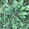 たんぽぽの利用可能性は大きい - たんぽぽのツナマヨ和え