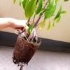 <5月>ガジュマルの植え替え・剪定/パイナップルの植え替え