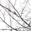 雨の中、ムシクイとミヤマホオジロ(大阪城野鳥探鳥 2017/01/22 6:40-12:10)