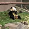 和歌山生まれのお母さんパンダ!良浜