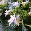 鉢植えの紫陽花 2020 5/18