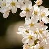 桜の花見が100倍楽しめるソメイヨシノの由来とは!?