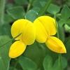 ミヤコグサ(エボシグサ)の花