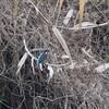 茂みの中のカワセミ 歳末玉手箱 ホバリングするカワセミ