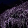 京都・洛中 - 京都御苑 出水のしだれ桜
