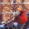 北米の赤い小鳥(11月末) 街中はクリスマスの準備