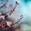 春の和菓子桜餅! 「どうして桜の葉に包まれているの?」
