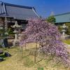 京都・西陣 - 智恵光院の枝垂れ梅