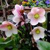 早春 わが家の花たち