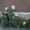 薔薇の二番花が続々と & こぼれ種から咲いたクレオメ