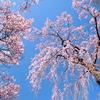 春の高遠城址公園は桜でいっぱい!コヒガン桜は他とは違う桜色