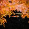 マイクロフォーサーズマウントのトイレンズで白鳥庭園の紅葉を撮影してきた