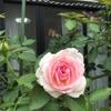 バラの返り咲き🌹