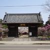 薬師様の桜が満開です。4月3日